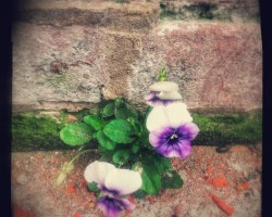 A Pansy Grows in Philadelphia